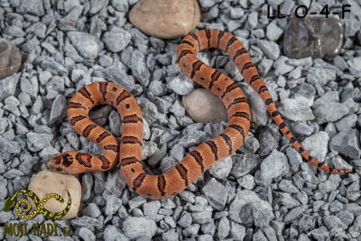 Lampropeltis, leonis, thayeri, mexicana, korálovka,variable kingsnake, Thayer´s kingsnake,  Mojihadi.cz, chov hadů, snakes, orange