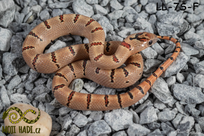 Lampropeltis, leonis, korálovka, Thayer's Kingsnake, Variable Kingsnake, Pastel king, Orange, Mojihadi.cz, chov hadů, snakes